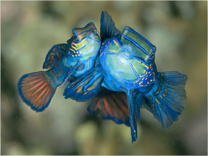 Delightful Mandarin fish